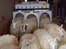 sheep passing through a scanner